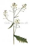 Gele waterkers-18049