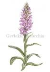 Gevlekte rietorchis-180002