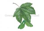 Gewone esdoorn-blad-zaad-182313