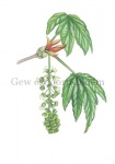 Gewone esdoorn-bloem-182312