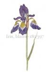 Iris, blauw-182397