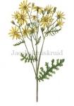 Jacobskruiskruid-18161
