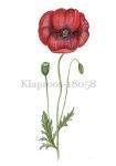 Klaproos-18058