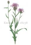 Knoopkruid-18238