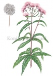 Koninginnenkruid-18239