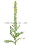 Koningskaars-182395