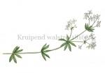 Kruipend walstro-18166