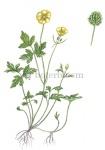 Kruipende boterbloem-18193