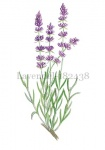Lavendel-182438