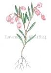 Lavendelheide-182487