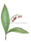 Lelietje-van-dalen-vruchten-182346
