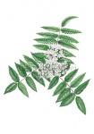 Lijsterbes-bloei-18242