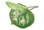 Linde-bloem-182459