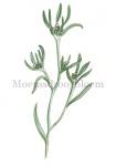 Moerasdroogbloem-18237