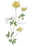 Moerasrolklaver-18191