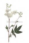 Moerasspirea-18027