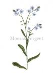 Moeras-vergeet-mij-nietje-18075
