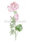Muskuskaaskruid-182462