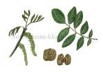 Notenboom-bloeiwijze-blad-noten