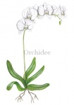 Orchidee-Phalaenopsis amabilis 'White World'-182478