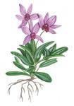 Orchidee-182478