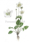Parnassia-18158