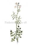 Pinksterbloem-18067