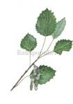 Ratelpopulier-blad en bloeiwijze-182332
