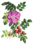 Rozenbottel-18133