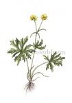 Scherpe boterbloem-18054