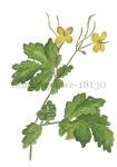 Stinke gouwe-18130