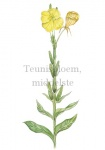 Teunisbloem, middelste-182396