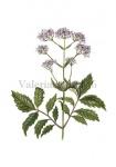 Valeriaan-18036