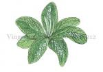Vingerhoedskruid-rozet-18212