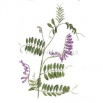 Vogelwikke-18052