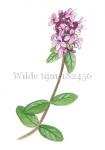 Wilde tijm-182456