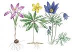 Wildemanskruid-gele anemoon-boerenkrokus-180014