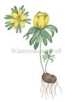 Winterakoniet-18276