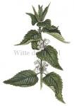 Witte dovenetel-18051