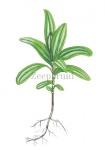 Zeepkruid-kiemplant-182433
