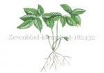 Zevenblad-kiemplant-182432