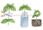 Basilicum kweken-310054