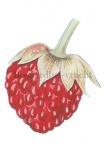 Bosaardbei-vrucht-180002.86