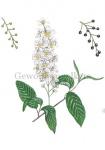 Gewone vogelkers-bloei-bessen-18243
