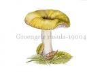 Groengele rusula-19004