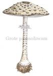 Grote parasolzwam-19038