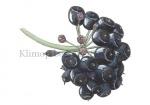 Klimop-bessen-180002-41