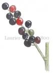 Laurier-bessen-180002.74