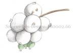 Sneeuwbes-bessen-180002.66