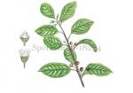 Sporkehout-bloei-bessen-18234